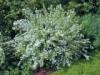 Дейция изящная Deutzia gracilis