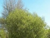 Ива козья Salix сarpea