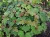 Калина обыкновенная Viburnum opulus Nanum
