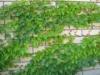 Виноград Виче Parthenocissus tricuspid