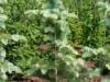 Пихта одноцветная Abies concolor Violacea