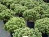 Сосна горная Pinus mugo Mops