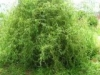 Ива вавилонская Salix babulonica Tortuosa
