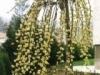 Ива козья Salix caprea Kilmarnock
