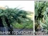 Можжевельник горизонтальный Juniperus horizontalis Blue Chip